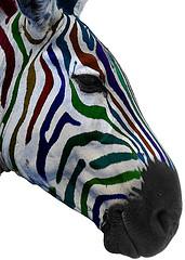 Multi colour zebra